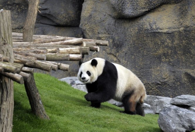 1409213828_giant-panda-ai-hin-had-her-keepers-believe-she-pregnant