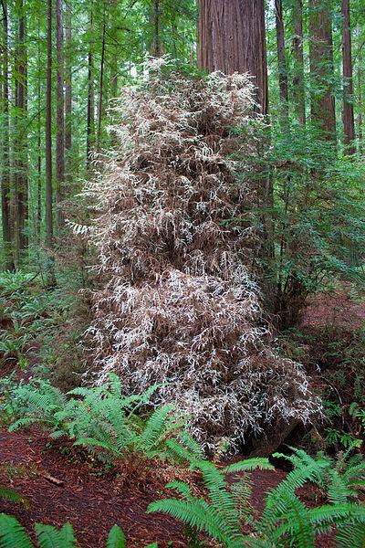 400px-Humboldt_Redwoods_'albino'