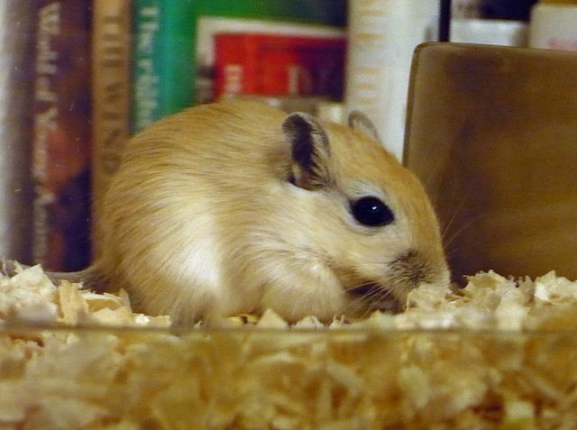 640px-A_young_gerbil