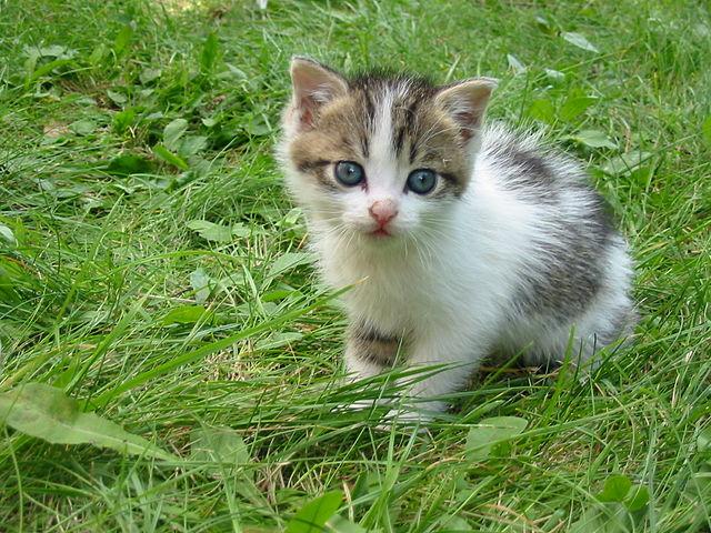 640px-Stray_kitten_Rambo002