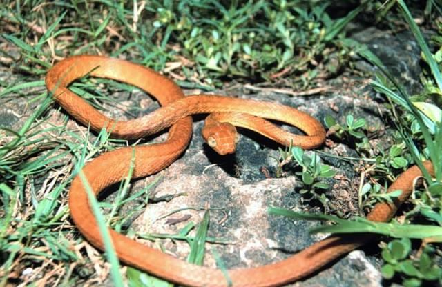 Brown_tree_snake_Boiga_irregularis_USGS_Photograph.sized