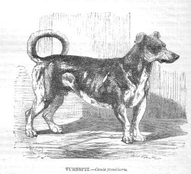 Turnspitdog-1862