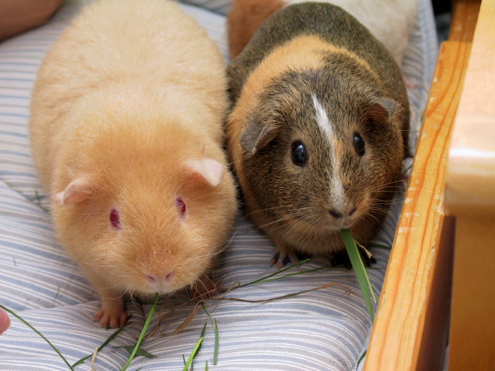 Two_adult_Guinea_Pigs_(Cavia_porcellus)