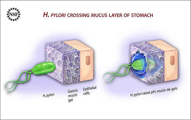 Ulcer_causing_Bacterium__H.Pylori__Crossing_Mucus_Layer_of_Stomach