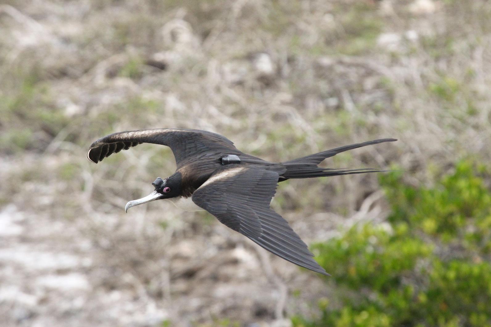 frigatebird-with-logger-bv-2014