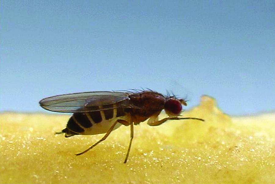 fruit-fly-feeding_900x604