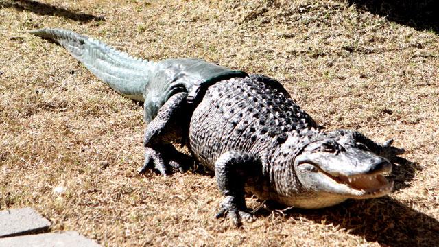 ht_alligator_tail_mi_130311_wmain